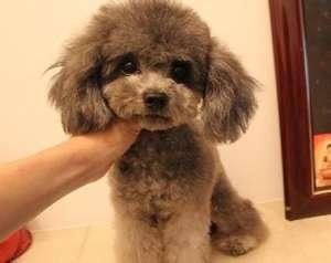 警惕贵宾犬的繁殖禁忌